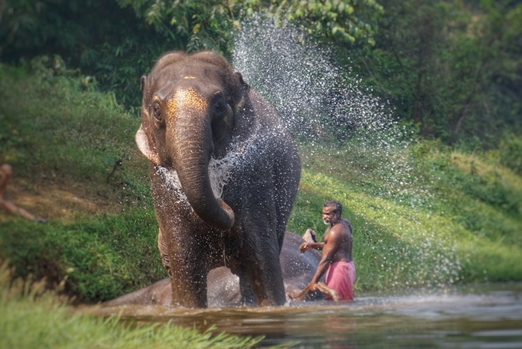 He Is One Of The Famous Elephant From South Kerala And Largest Among Thiruvithankoor Devasamboard Elephants Got Gajarajarathnam Pattom For His Head